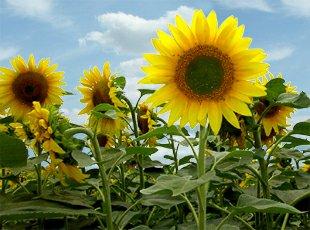 Slunečnice vhodná pro výrobu olejů