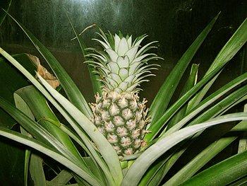 Ananasovník Ananas