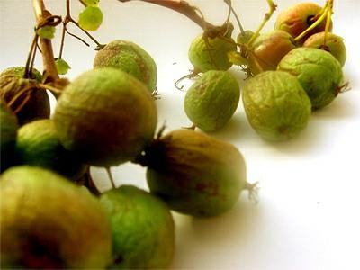 Drobnoplodé kiwi Aktinidie arguta