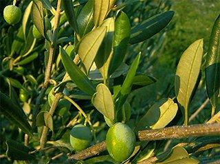 Olivovník středomoří
